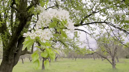 lehet : Blooming pear trees in spring on windy day. Blossoming tree with white flowers Stock mozgókép