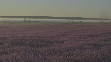lavanda : Field of lilac flowers
