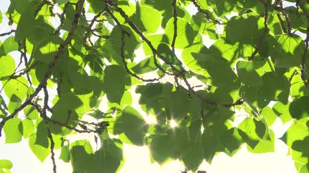 folhas : Sun shining through green leaves