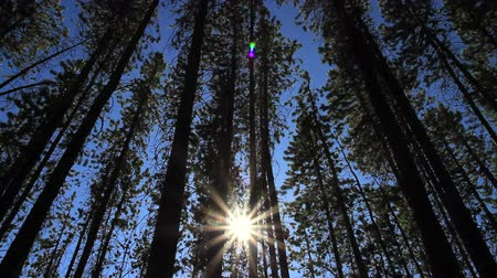 pinho : Pine Forest and Sun