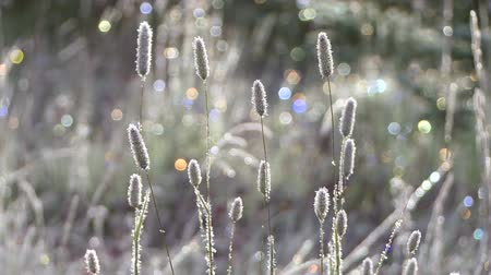 nasiona : Early morning frost on wild grass