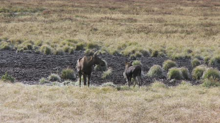 memeli : Female moose with calf