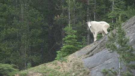 cabra : Mountain Goat, Canadian Rockies