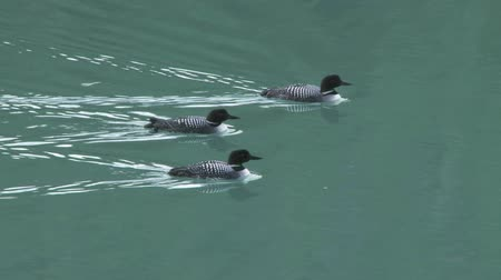 Three playfull Common Loons on mountain lake