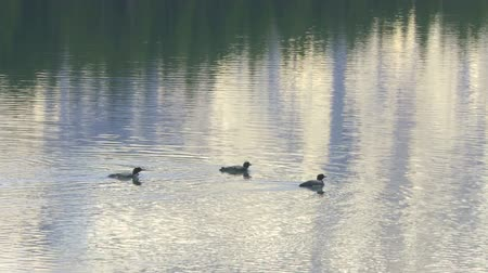 Three Common Loons swimming on mountain lake