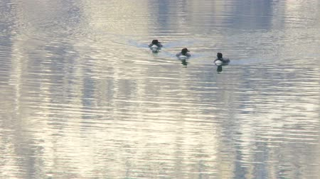 Three Common Loons on mountain lake