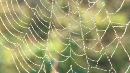 A spider web with early morning dew drops Vídeos
