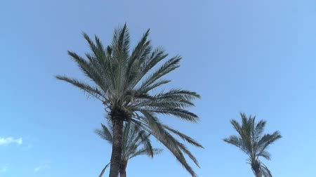 batı : Palm tree in blue sky Stok Video