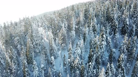 4k.Aerial.Winter in mountain hills with big pines in snow. Top view Стоковые видеозаписи