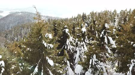 4k.Aerial. Mountain trees, pines in snow. Winter fly Стоковые видеозаписи