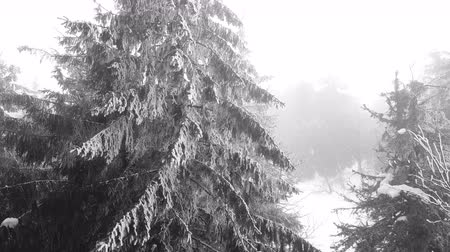 realtime : 4k.Aerial. Mountainpinesinfog, covered by snow. Stock Footage