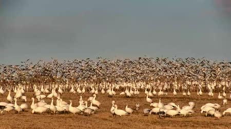 volo : Snow Geese Take Flight