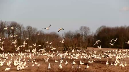 göç : Snow Geese flying in Lancaster County,Pennsylvania