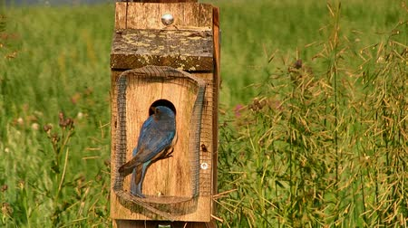 ave canora : A pair of Eastern Bluebirds feeding the baby birds in a nesting box on a sunny spring evening