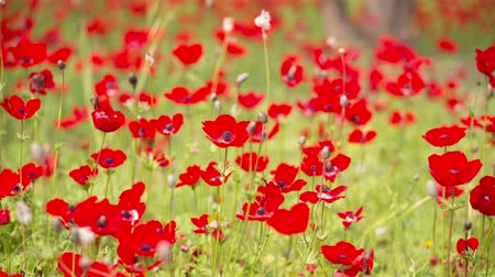 haşhaş : Beautiful Red Poppies flowers in sunny day  shallow focus Huge field of blossoming poppies
