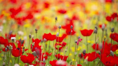mák : Beautiful Red Poppies flowers in sunny day  shallow focus Huge field of blossoming poppies