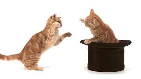 domestic short haired : Red Tabby Domestic Cat, Adults Playing in Top Hat against White Background, Slow motion Stock Footage