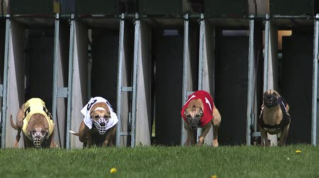 tazı : Whippet Dog, Adults standing in Box and Running during Race, Slow motion Stok Video