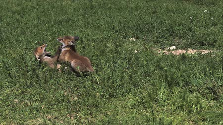 лиса : Red Fox, vulpes vulpes, Pups playing on Grass, Normandy in France, Slow Motion