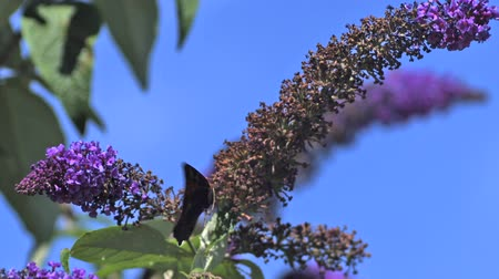 inachis io : Peacock Butterfly, inachis io, Adult in Flight, Taking off from Buddleja or Summer Lilac, buddleja davidii, Normandy in France, Slow Motion Stock Footage