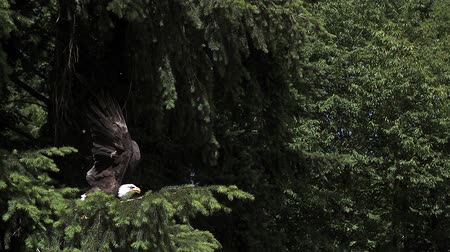 diurnal : Bald Eagle, haliaeetus leucocephalus, Adult in Flight, Taking off from Branch, Slow Motion