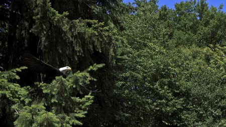 ramos : Bald Eagle, haliaeetus leucocephalus, Adult in Flight, Taking off from Branch, Slow Motion