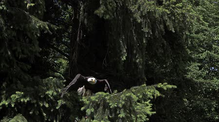 accipitridae : Bald Eagle, haliaeetus leucocephalus, Adult in Flight, Taking off from Branch, Slow Motion