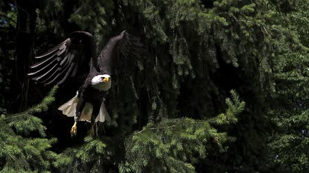 dal : Bald Eagle, haliaeetus leucocephalus, Adult in Flight, Taking off from Branch, Slow Motion