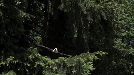 ramo : Bald Eagle, haliaeetus leucocephalus, Adult in Flight, Taking off from Branch, Slow Motion