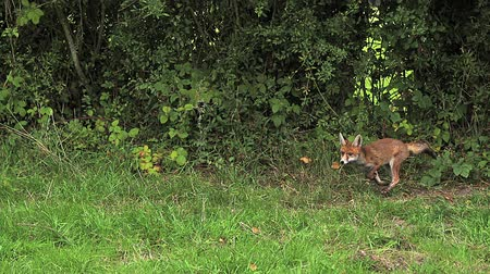 лиса : Red Fox, vulpes vulpes, Adult running on Grass, Normandy in France, Slow motion