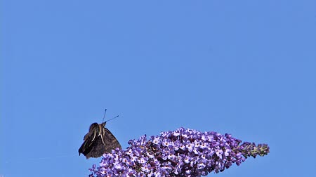 diurnal : Peacock Butterfly, inachis io, Adult in Flight, Feeding on Buddleja or Summer Lilac, buddleja davidii, Normandy in France, Slow Motion
