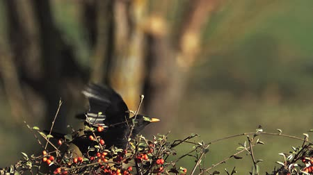 turdus merula : Blackbird, turdus merula, Male in Flight, Taking off from Cotoneaster, Normandy, Slow motion Stock Footage