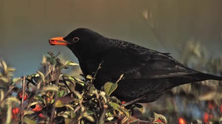 turdus merula : Blackbird, turdus merula, Male eating Berries from Cotoneaster, Normandy, Slow motion
