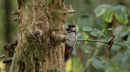 picidae : Great Spotted Woodpecker, dendrocopos major, Adult doing Hole in Tree Trunk to Find Food, Normandy, Slow Motion