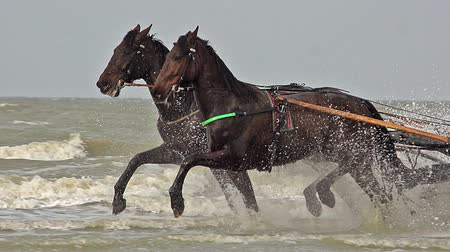 sulky : Horse racing, French Trotter, harness racing during Training on the Beach, Cabourg in Normandy, France