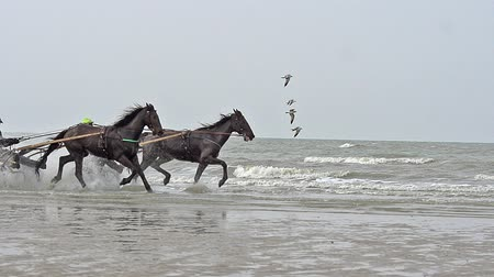 d day : Horse racing, French Trotter, harness racing during Training on the Beach, Cabourg in Normandy, France