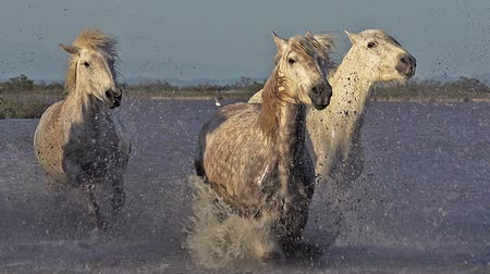 fãs : Camargue Horse, Group galloping through Swamp, Saintes Marie de la Mer in Camargue, in the South of France, Slow Motion