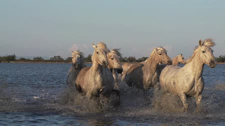 fãs : Camargue Horse, Herd galloping through Swamp, Saintes Marie de la Mer in Camargue, in the South of France, Slow Motion Stock Footage