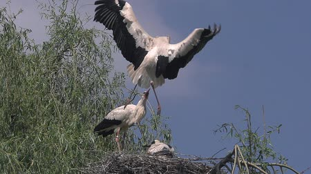 fãs : White Stork, ciconia ciconia, Pair and Chick standing on Nest, one in Flight, Alsace in France, Slow Motion