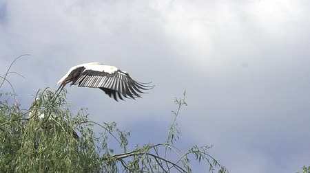 ciconiidae : White Stork, ciconia ciconia, Pair standing on Nest, one in Flight, Alsace in France, Slow Motion