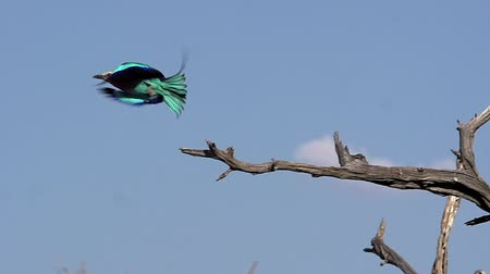 fãs : Lilac Breasted Roller, coracias caudata, Adult taking off from Branch, in Flight, Okavango Delta in Botswana, Slow Motion