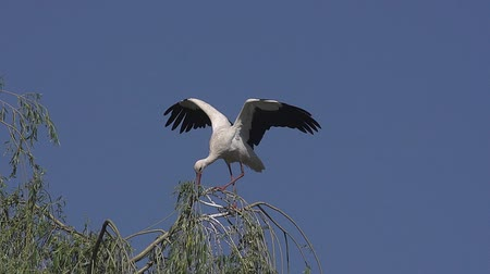ciconiidae : White Stork, ciconia ciconia, Adult Flapping Wings, Alsace in France, Slow Motion