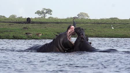 hippopotamidae : Hippopotamus, hippopotamus amphibius, Adults with Mouth wide open, Threat display, Fighting, Chobe River, Okavango Delta in Botswana, Slow motion