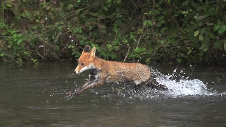 лиса : Red Fox, vulpes vulpes, Adult crossing River, Normandy in France, Slow motion
