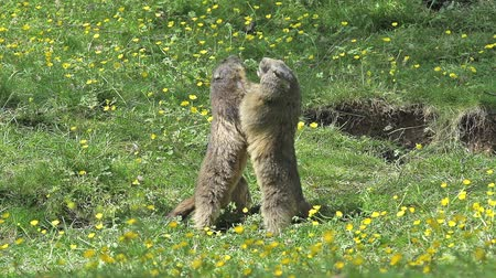sciuridae : Alpine Marmot, marmota marmota, Adults playing or Fighting, France, Slow Motion