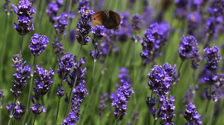 lavanda : Gatekeeper Butterfly, pyronia tithonus, Sucking Nectar from Laverder Flowers, Normandy, Slow motion