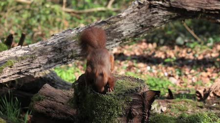 sciuridae : Red Squirrel, sciurus vulgaris, Adult Finding Hazelnut in Tree Stump and Walking away, Normandy in France, Real Time