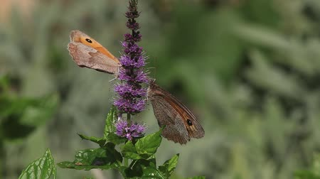 diurnal : Gatekeeper Butterfly, pyronia tithonus, Adult Feeding on Buddleja or Summer Lilac, Normandy in France, Real Time Stock Footage