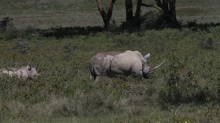 rhinocerotidae : Black Rhinoceros, diceros bicornis, Female with Calf, Nakuru Park in Kenya, Real Time