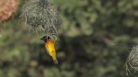 fészek : Spekes Weaver, ploceus spekei, Male working on Nest, Bogoria Park in Kenya, Real Time